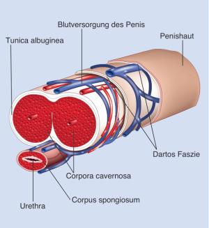 Penis frontal | MIRA-BEAU